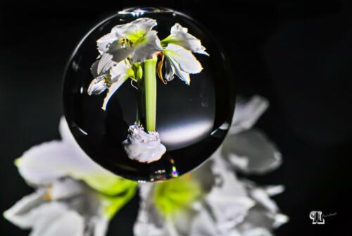 Amarillis in Lensball