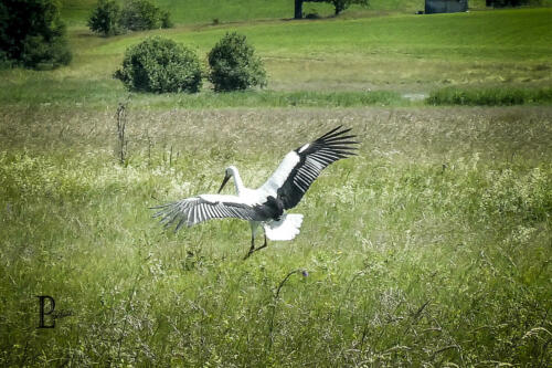 Landender Storch
