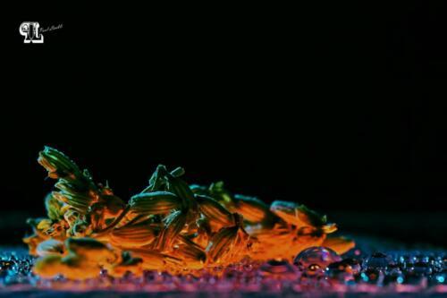 Lavendel von unten Beleuchtet mit Wassertropfen